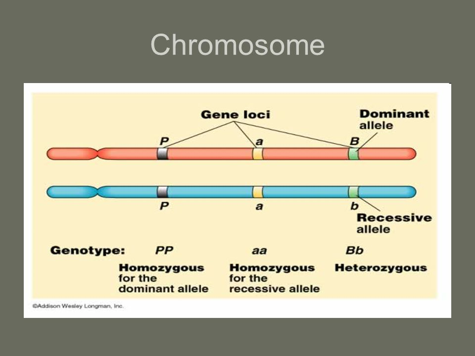 Genotype vs Phenotype Homozygous – two identical alleles –AA for blood type Heterozygous – two different alleles –AB for blood type Genotype – combination of alleles present in the DNA (chromosomes) –AA, BB, AO, etc Phenotype – physical manifestation of a genetic trait –Shape, color, blood type