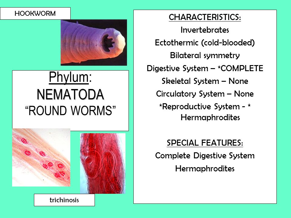 NEMATODA Phylum: NEMATODA ROUND WORMS CHARACTERISTICS: Invertebrates Ectothermic (cold-blooded) Bilateral symmetry Digestive System – *COMPLETE Skelet