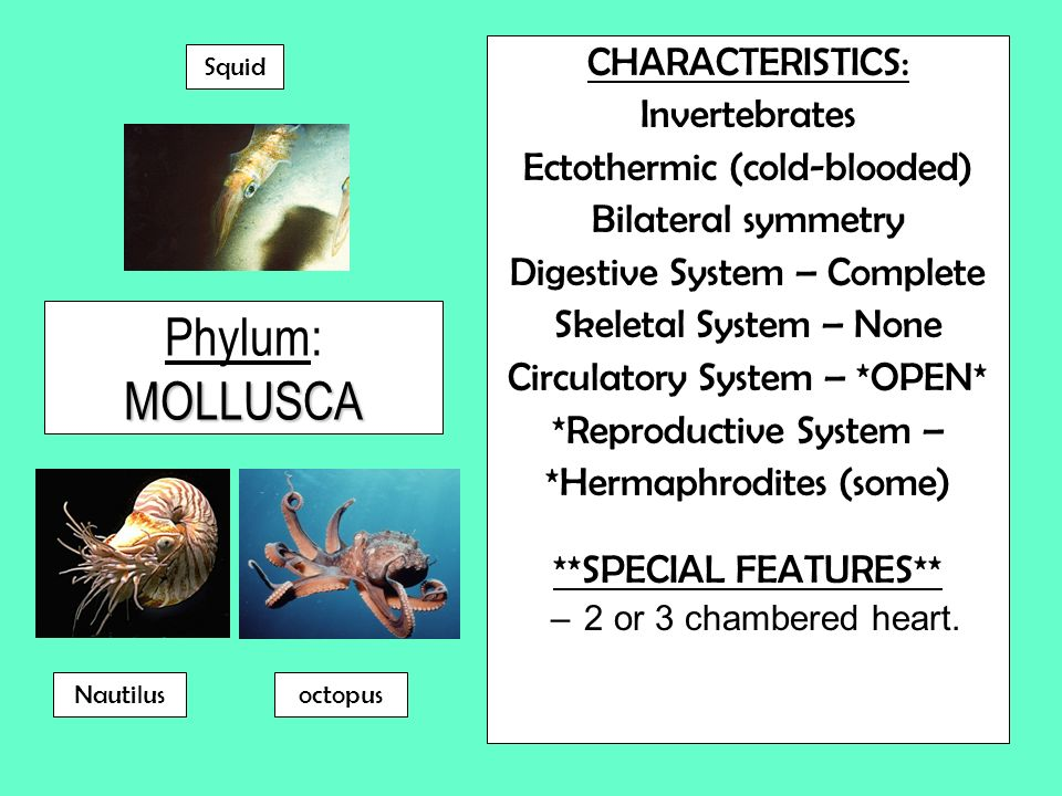 MOLLUSCA Phylum: MOLLUSCA CHARACTERISTICS: Invertebrates Ectothermic (cold-blooded) Bilateral symmetry Digestive System – Complete Skeletal System – N