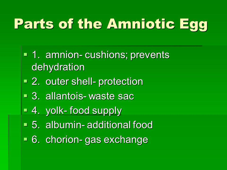Parts of the Amniotic Egg 1. amnion- cushions; prevents dehydration 1. amnion- cushions; prevents dehydration 2. outer shell- protection 2. outer shel