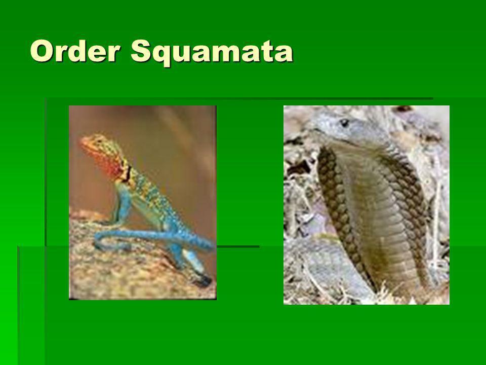 Order Squamata