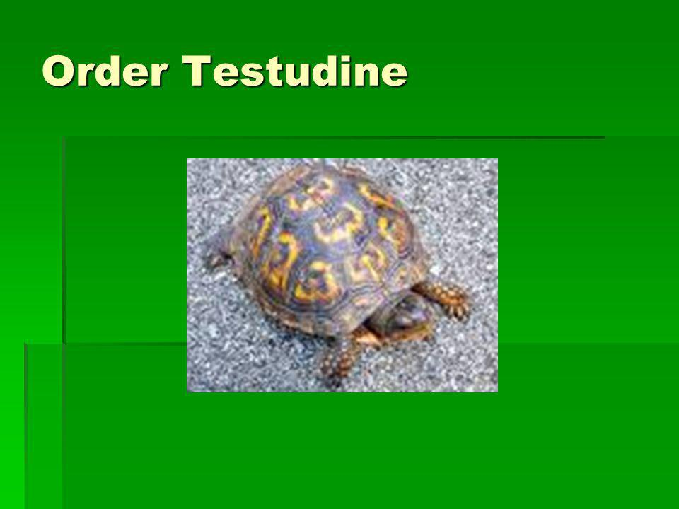 Order Testudine