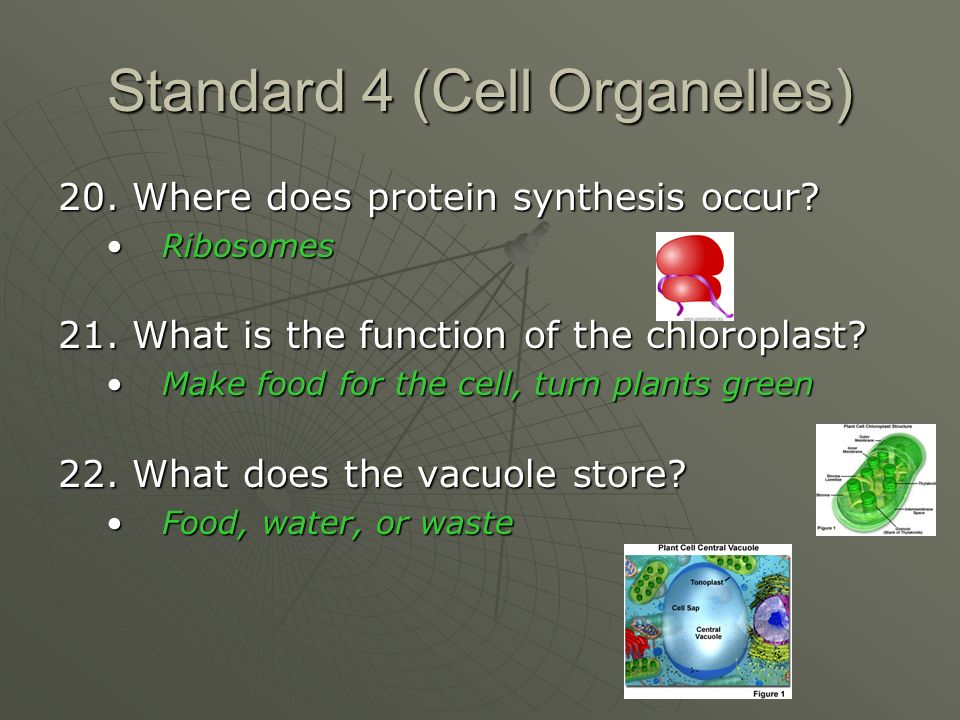 Standard 4 (Cell Organelles) 20. Where does protein synthesis occur.