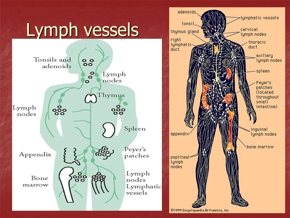 Lymphocytes T lymphocytes – (thymus dependent) 80% of lymphocytes are T cells.
