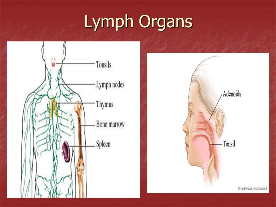 Lymph Organs
