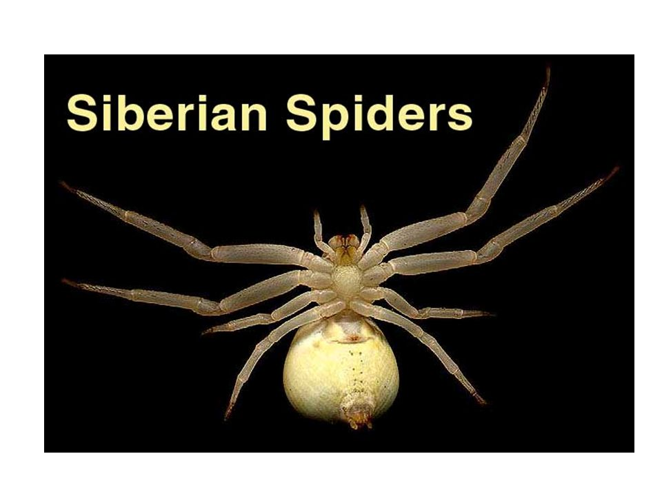 Characterisitics of spiders ( Order Araneae ) 6 pairs of appendages 4 pairs of walking legs 1 pr. of chelicera ( most anterior head appendage) 1 pr. o