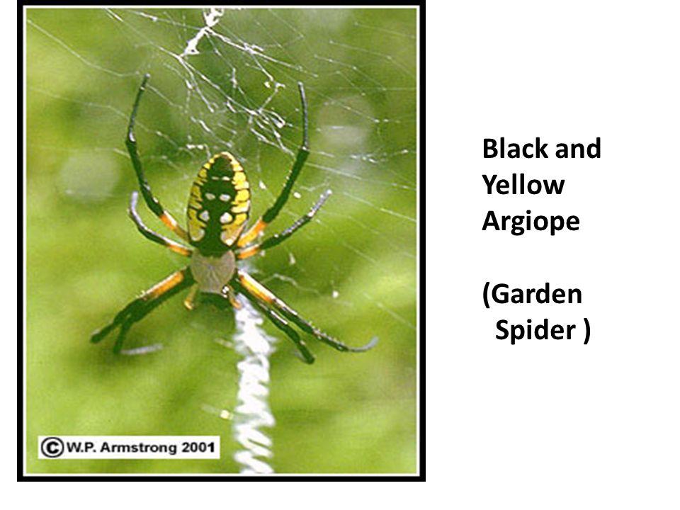 Trapdoor spider