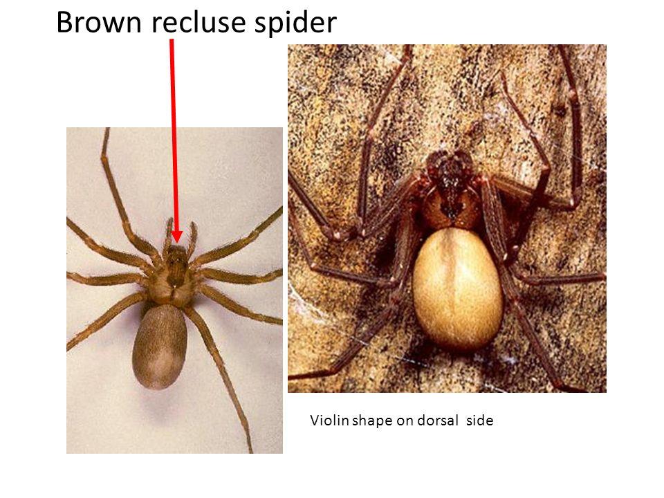 Black and Yellow Argiope (Garden Spider )