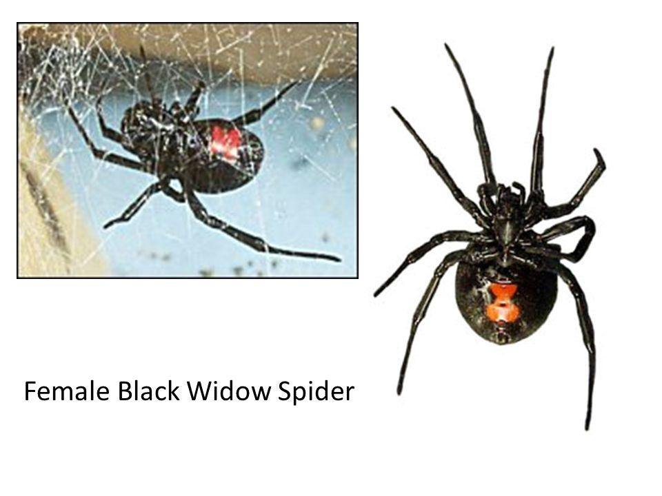 Brown recluse spider Violin shape on dorsal side