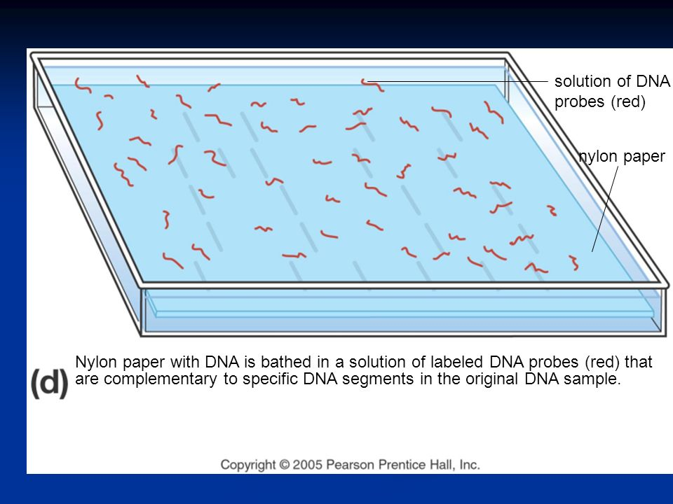 Nylon paper with DNA is bathed in a solution of labeled DNA probes (red) that are complementary to specific DNA segments in the original DNA sample.