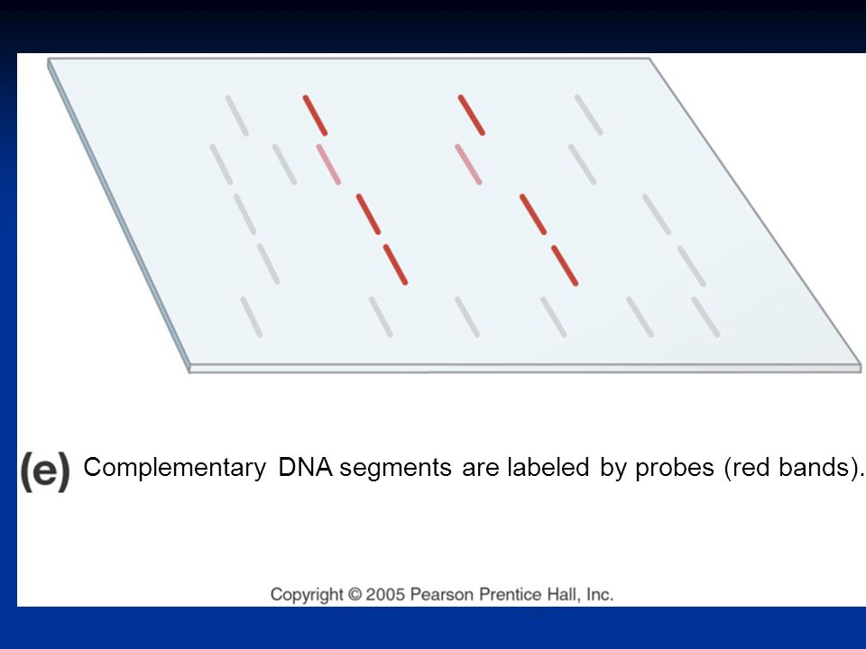 Complementary DNA segments are labeled by probes (red bands).