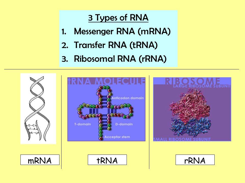 3 Types of RNA 1.Messenger RNA (mRNA) 2.Transfer RNA (tRNA) 3.Ribosomal RNA (rRNA) mRNAtRNArRNA