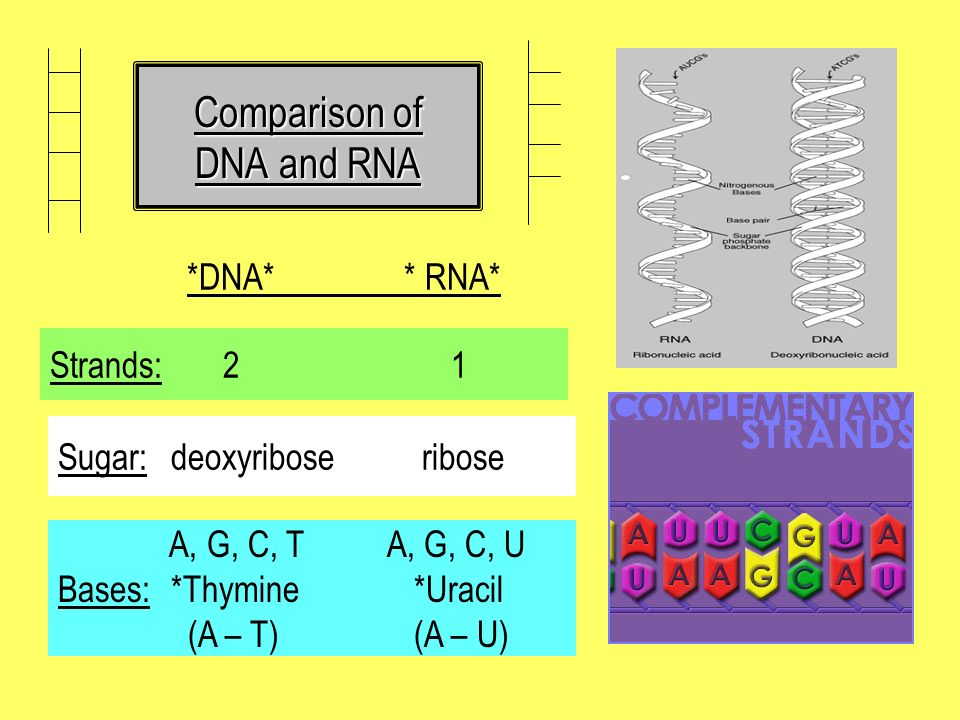 Comparison of DNA and RNA *DNA* * RNA* Strands: 2 1 Sugar: deoxyribose ribose A, G, C, T A, G, C, U Bases: *Thymine *Uracil (A – T) (A – U)