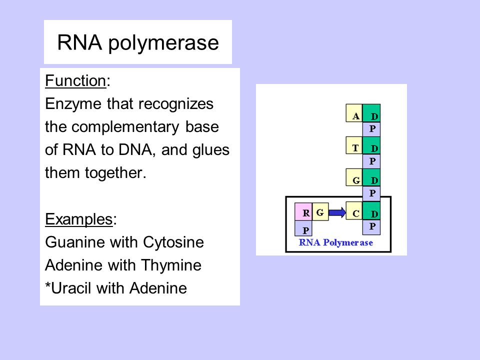 RNA polymerase Function: Enzyme that recognizes the complementary base of RNA to DNA, and glues them together. Examples: Guanine with Cytosine Adenine