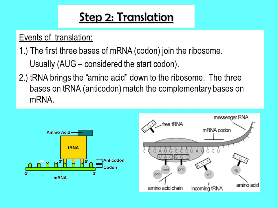 Step 2: Translation Events of translation: 1.) The first three bases of mRNA (codon) join the ribosome. Usually (AUG – considered the start codon). 2.