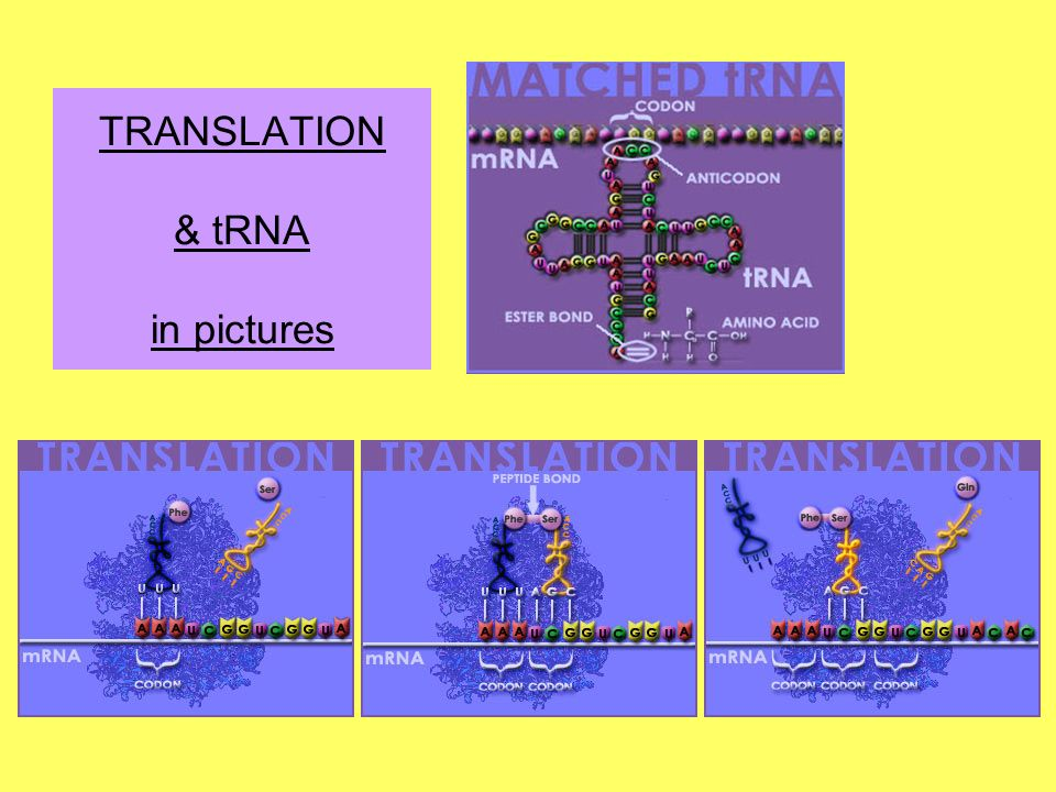 TRANSLATION & tRNA in pictures
