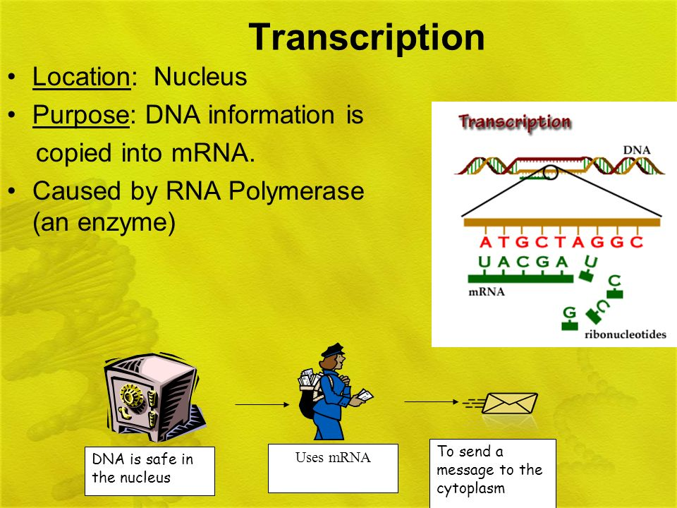 Transcription Location: Nucleus Purpose: DNA information is copied into mRNA. Caused by RNA Polymerase (an enzyme) DNA is safe in the nucleus Uses mRN