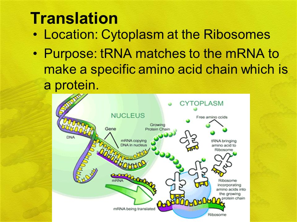 Translation Location: Cytoplasm at the Ribosomes Purpose: tRNA matches to the mRNA to make a specific amino acid chain which is a protein.