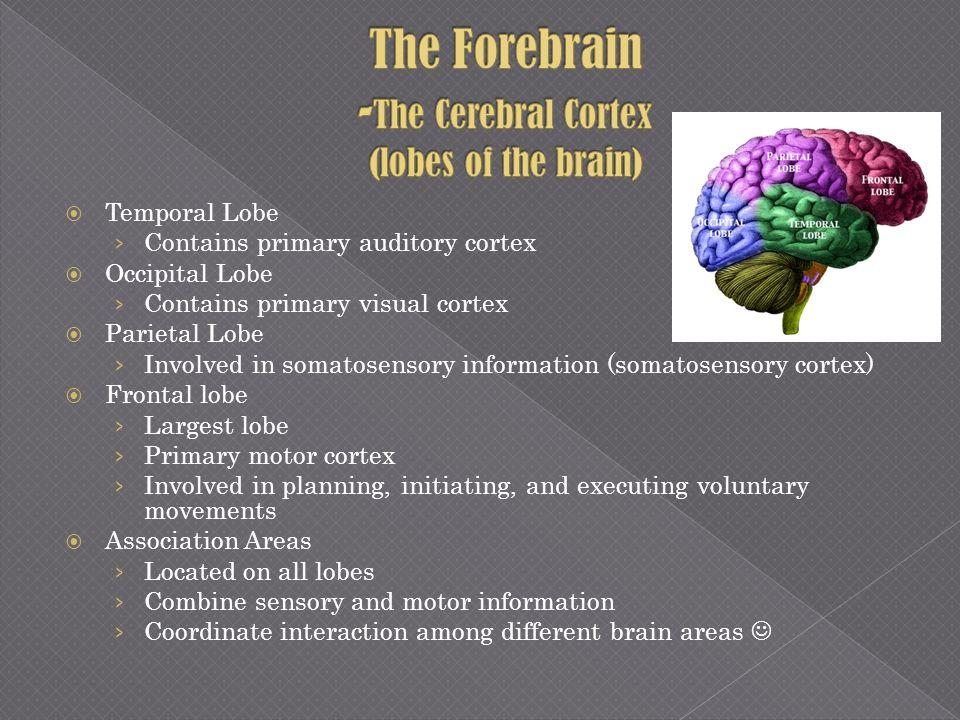 Temporal Lobe Contains primary auditory cortex Occipital Lobe Contains primary visual cortex Parietal Lobe Involved in somatosensory information (soma