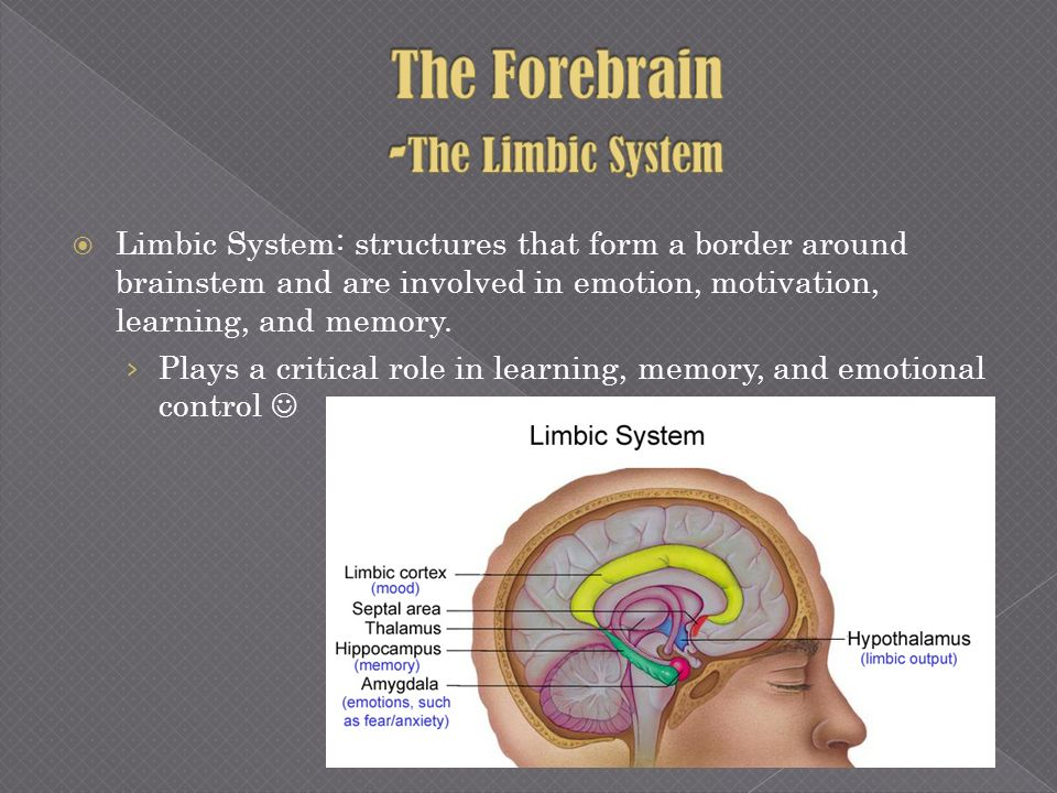 Limbic System: structures that form a border around brainstem and are involved in emotion, motivation, learning, and memory. Plays a critical role in