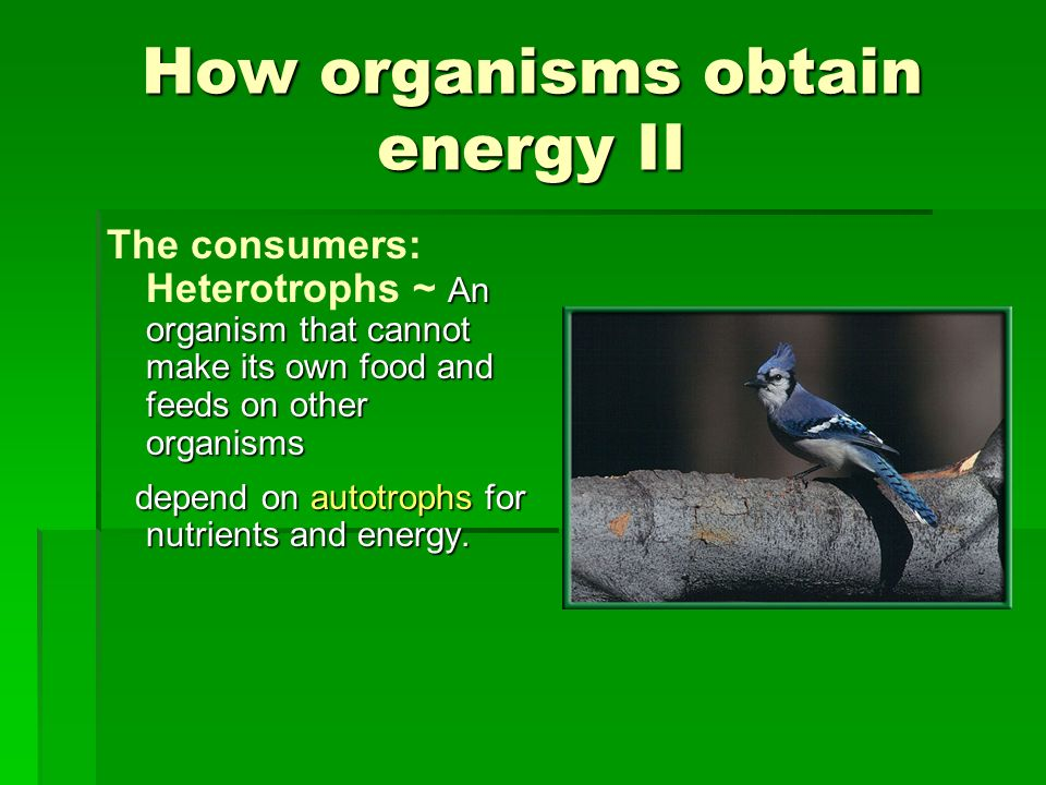 How organisms obtain energy II An organism that cannot make its own food and feeds on other organisms The consumers: Heterotrophs ~ An organism that c