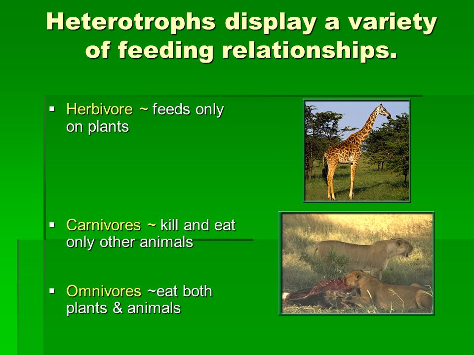 Heterotrophs display a variety of feeding relationships. Herbivore ~ feeds only on plants Herbivore ~ feeds only on plants Carnivores ~ kill and eat o