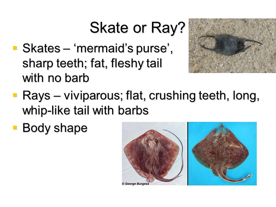 Skate or Ray? Skates – mermaids purse, sharp teeth; fat, fleshy tail with no barb Skates – mermaids purse, sharp teeth; fat, fleshy tail with no barb