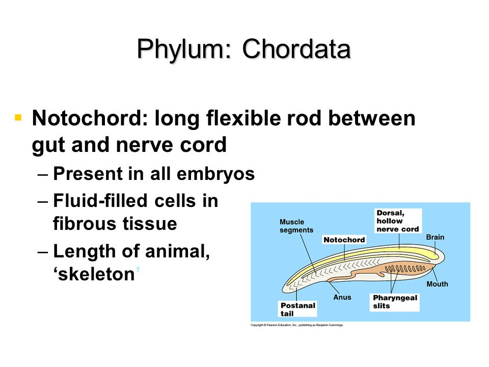 Dorsal, hollow nerve cord – –Ectoderm, rolls into tube – –Becomes central nervous system – –Inverts have ventral, solid cords Phylum: Chordata