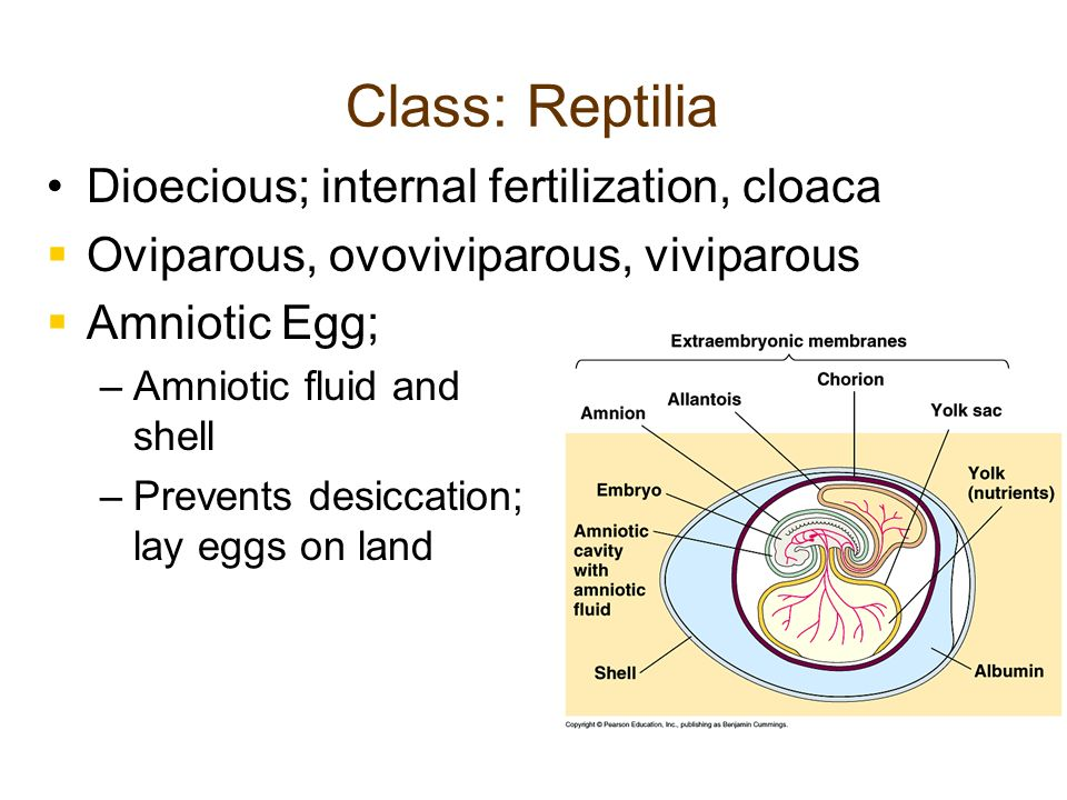 Class: Reptilia Dioecious; internal fertilization, cloaca Oviparous, ovoviviparous, viviparous Amniotic Egg; – –Amniotic fluid and shell – –Prevents d