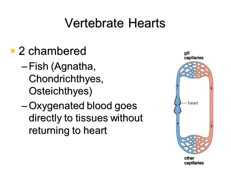 Vertebrate Hearts 2 chambered 2 chambered –Fish (Agnatha, Chondrichthyes, Osteichthyes) –Oxygenated blood goes directly to tissues without returning t