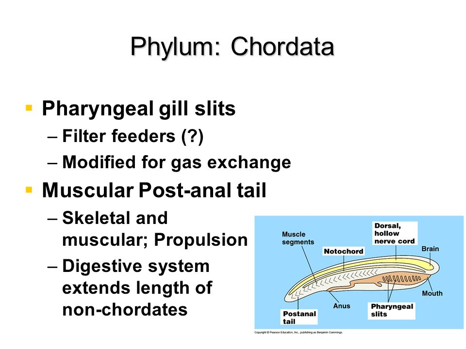Pharyngeal gill slits – –Filter feeders (?) – –Modified for gas exchange Muscular Post-anal tail – –Skeletal and muscular; Propulsion – –Digestive sys