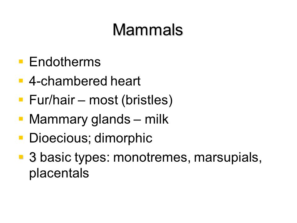 Mammals Endotherms 4-chambered heart Fur/hair – most (bristles) Mammary glands – milk Dioecious; dimorphic 3 3 basic types: monotremes, marsupials, pl