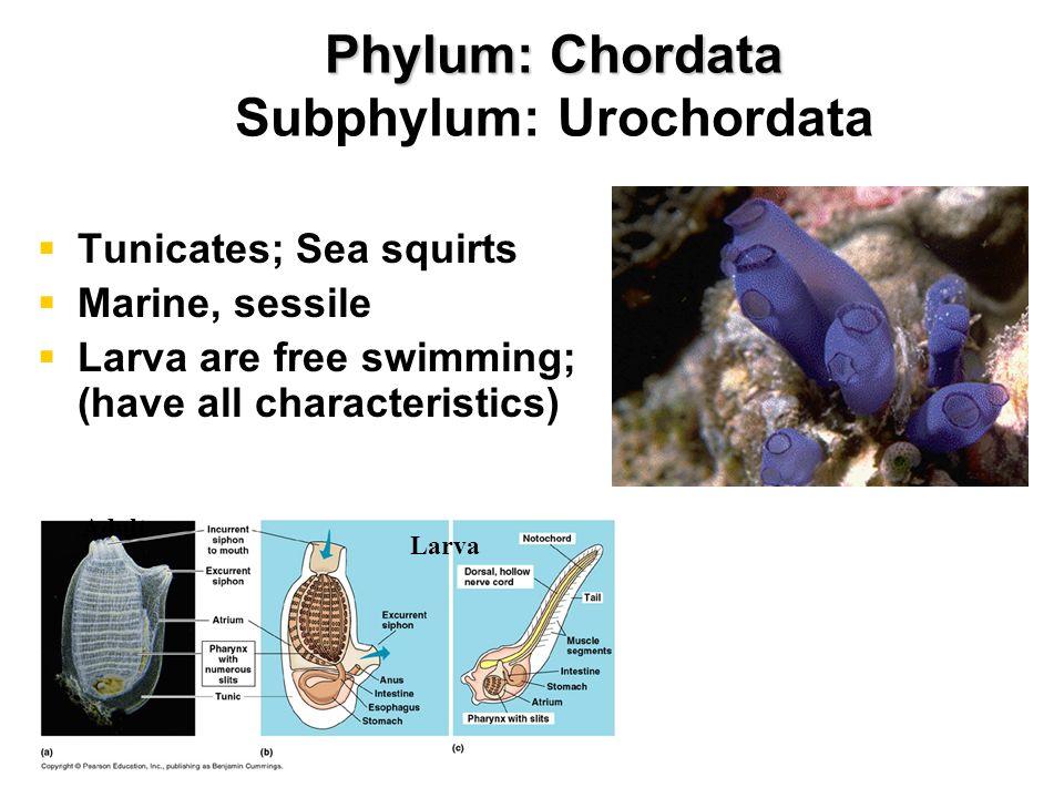 Phylum: Chordata Subphylum: Cephalochordata Lancelets Bladelike Marine Burrow into sand Filter feeders