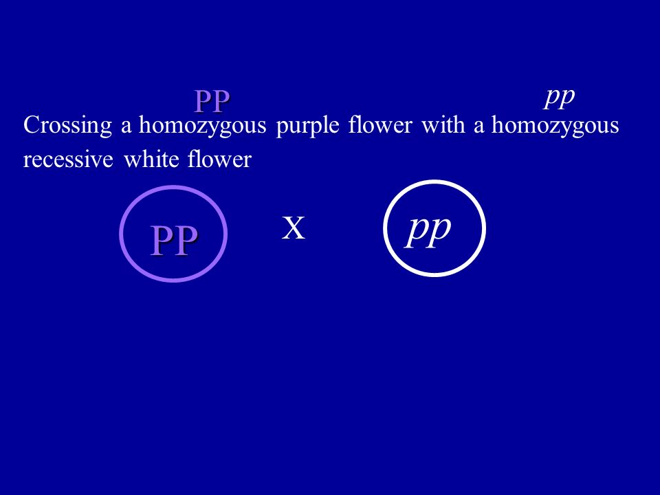 PP pp Crossing a homozygous purple flower with a homozygous recessive white flower PP pp X