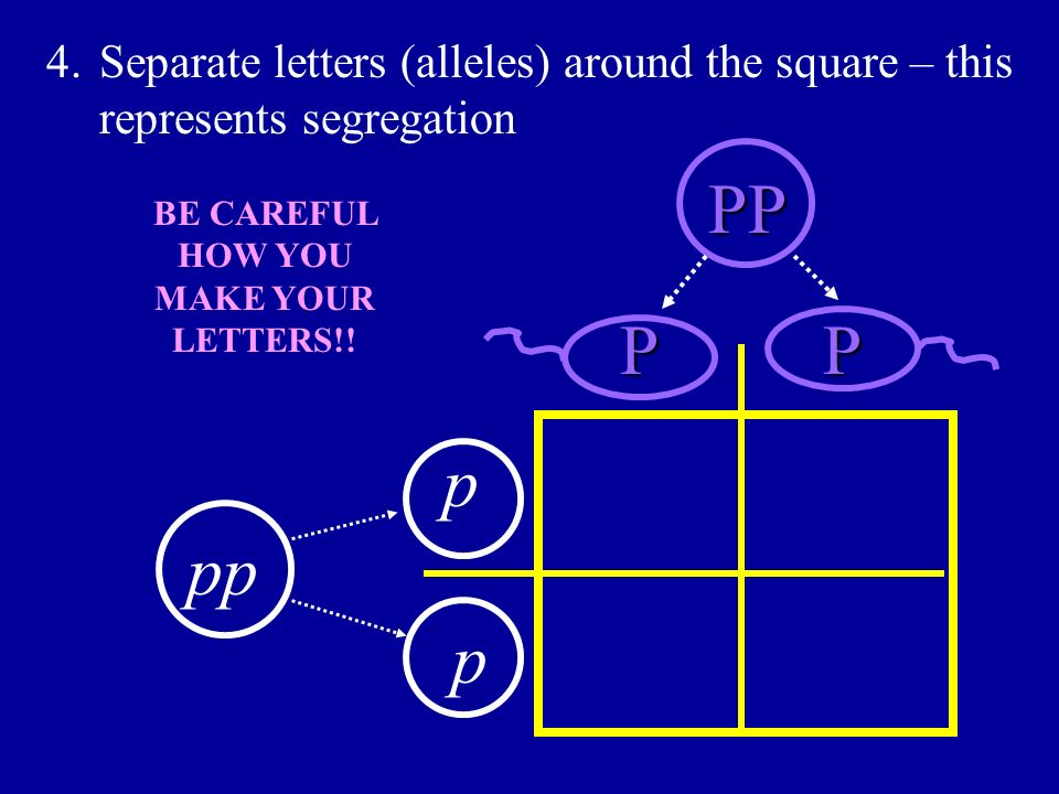 4.Separate letters (alleles) around the square – this represents segregation PP p p BE CAREFUL HOW YOU MAKE YOUR LETTERS!! PP pp