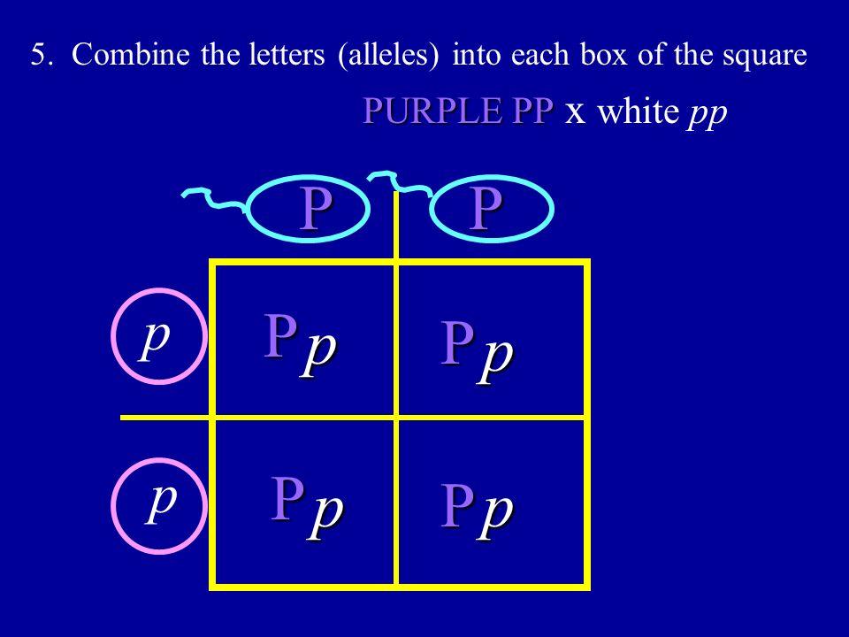 5. Combine the letters (alleles) into each box of the square PP PURPLE PP PURPLE PP x white pp p p P P P P p p pp