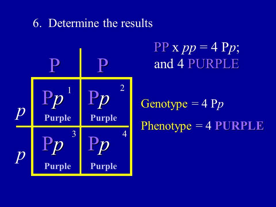 6. Determine the results PP PP PURPLE PP x pp = 4 Pp; and 4 PURPLE p p PpPpPpPp PpPpPpPp PpPpPpPp PpPpPpPp Genotype = 4 Pp PURPLE Phenotype = 4 PURPLE
