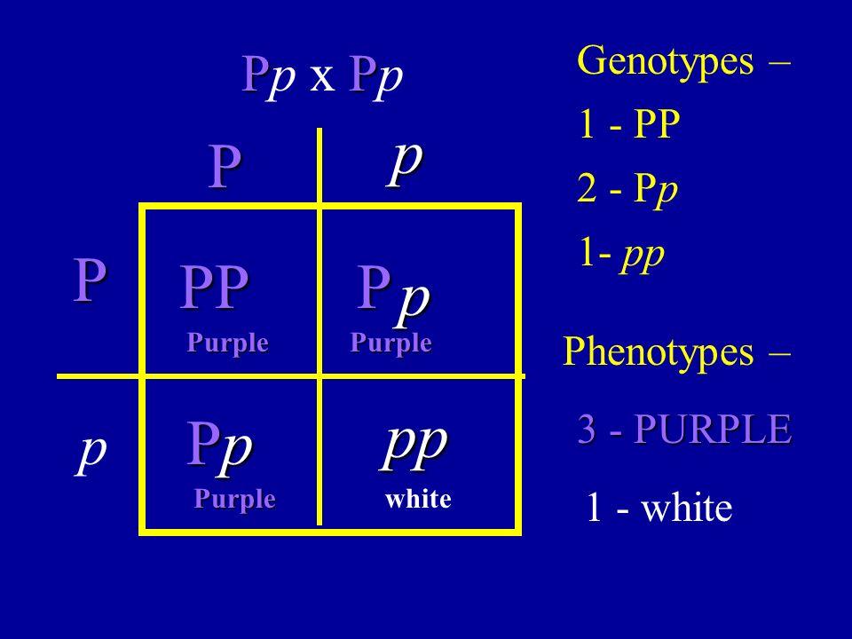 P PP Pp x Pp p PPP PpPpPpPp p pp p P Genotypes – Phenotypes – 1 - PP 2 - Pp 1- pp 3 - PURPLE 1 - white PurplePurple Purplewhite