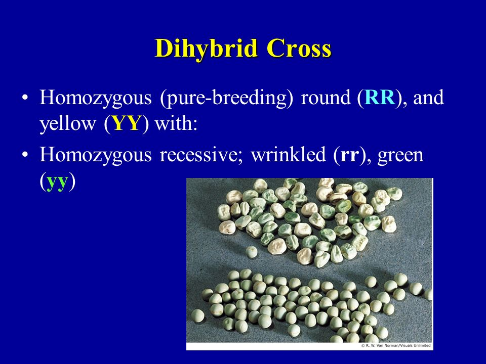 Dihybrid Cross Homozygous (pure-breeding) round (RR), and yellow (YY) with: Homozygous recessive; wrinkled (rr), green (yy)