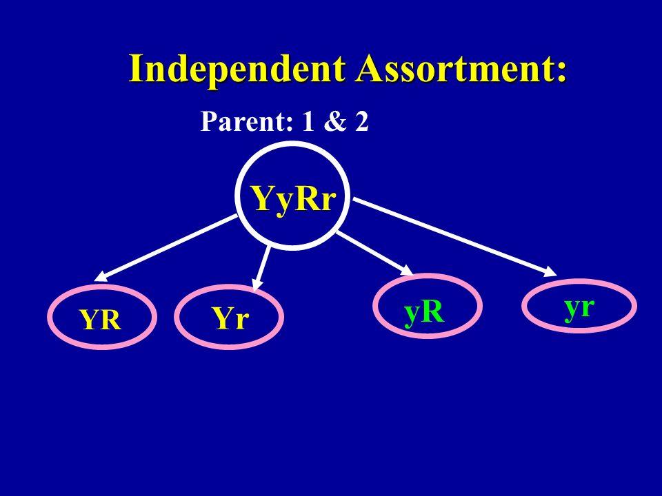 Independent Assortment: YyRr YR Yr yR yr Parent: 1 & 2