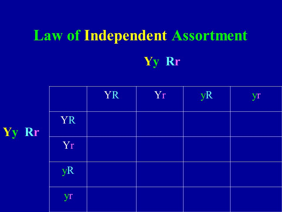 YRYRYrYryRyRyryr YRYR YrYr yRyR yryr Law of Independent Assortment Yy Rr