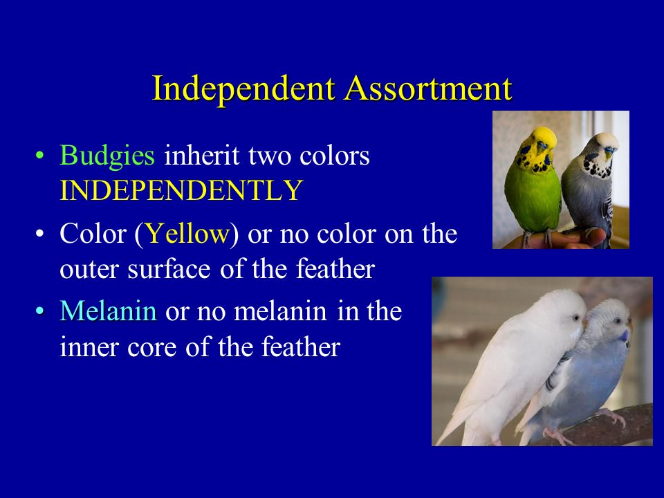 Independent Assortment Budgies inherit two colors INDEPENDENTLY Color (Yellow) or no color on the outer surface of the feather MelaninMelanin or no me