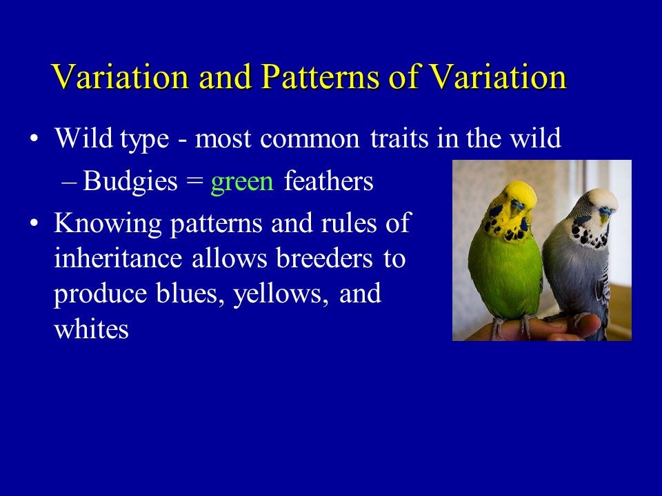 Variation and Patterns of Variation Wild type - most common traits in the wild –Budgies = green feathers Knowing patterns and rules of inheritance all