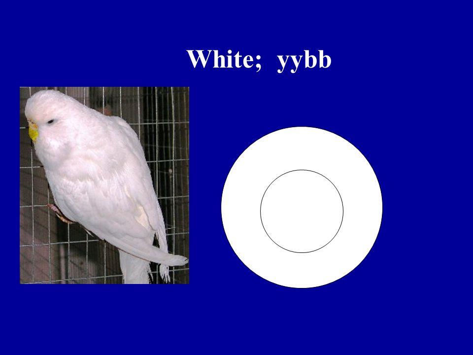 White; yybb