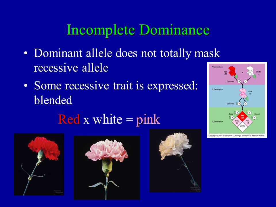 Incomplete Dominance Dominant allele does not totally mask recessive allele Some recessive trait is expressed: blended Redpink Red x white = pink