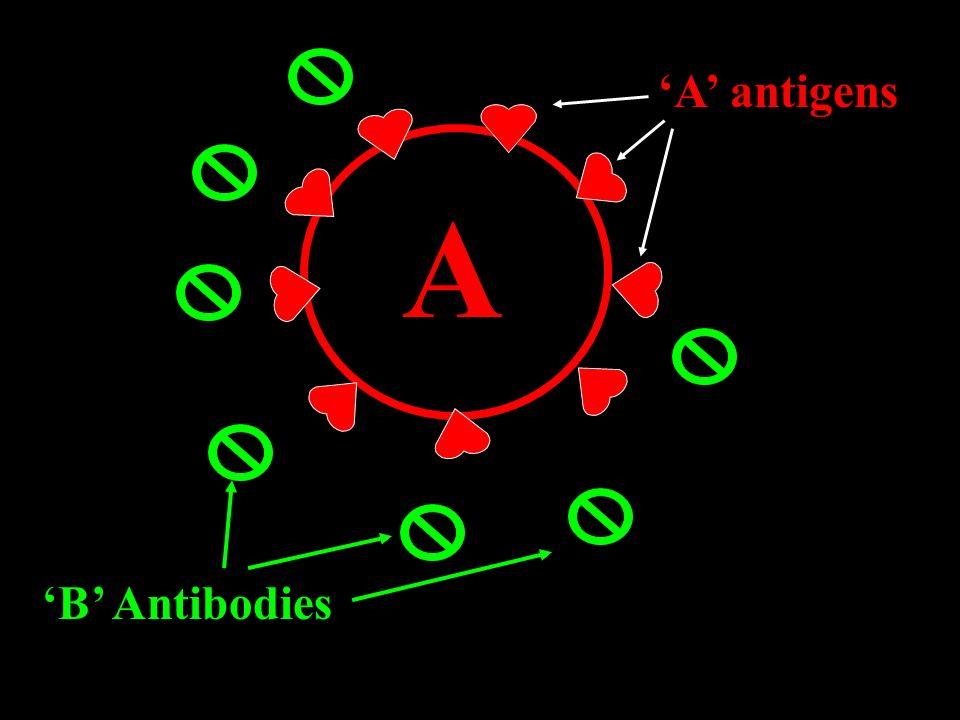 A antigens A B Antibodies