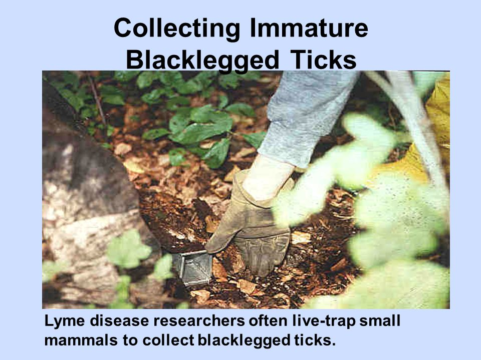 Lyme disease researchers often live-trap small mammals to collect blacklegged ticks. Collecting Immature Blacklegged Ticks