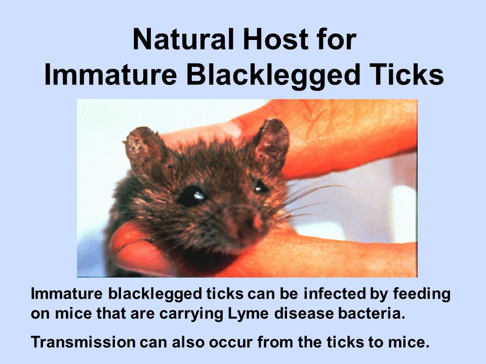 Immature blacklegged ticks can be infected by feeding on mice that are carrying Lyme disease bacteria. Transmission can also occur from the ticks to m