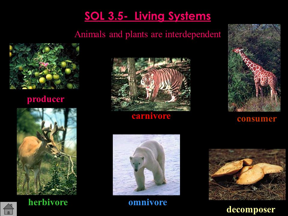 SOL 3.5- Living Systems Animals and plants are interdependent producer consumer decomposer herbivore carnivore omnivore