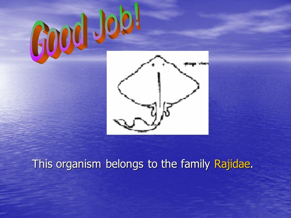 This organism belongs to the family Rajidae.